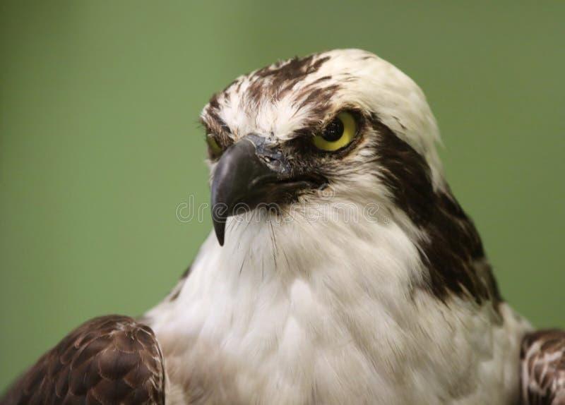 Download Águia calva foto de stock. Imagem de selvagem, predator - 26511770