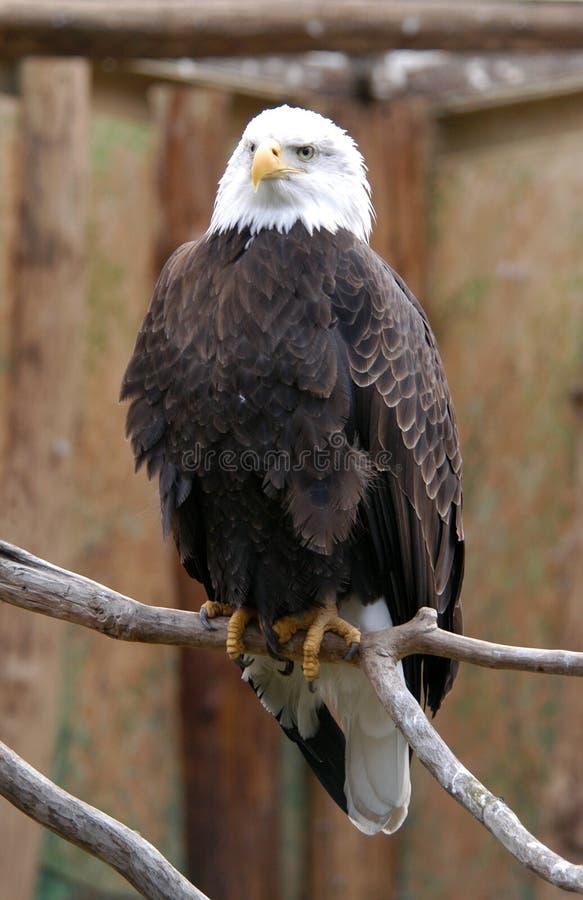 Download Águia calva imagem de stock. Imagem de pássaro, conta, águia - 536211