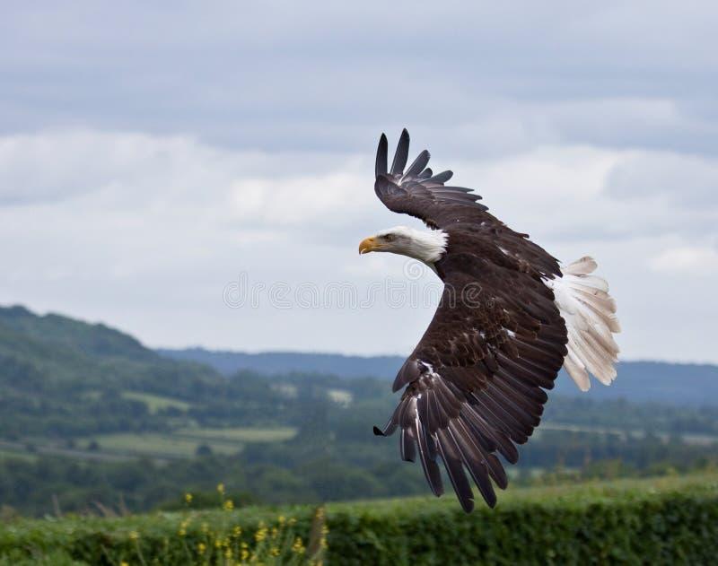 Águia calva americana no vôo fotos de stock royalty free