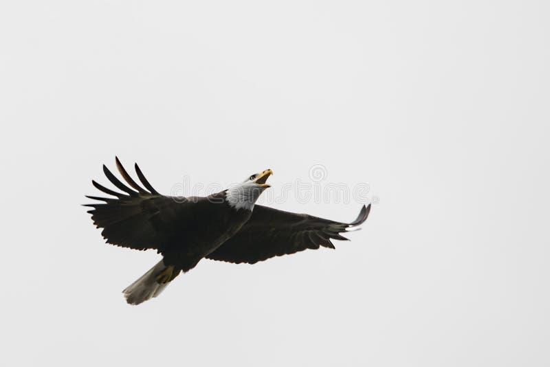Águia calva americana no vôo fotos de stock