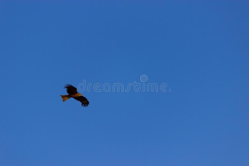 Águia calva americana no vôo fotografia de stock