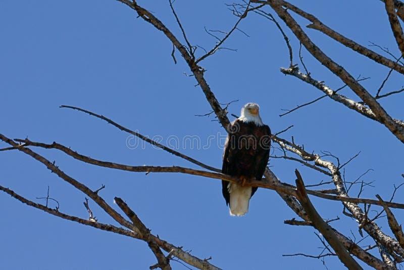 Águia calva americana solitária imagens de stock royalty free