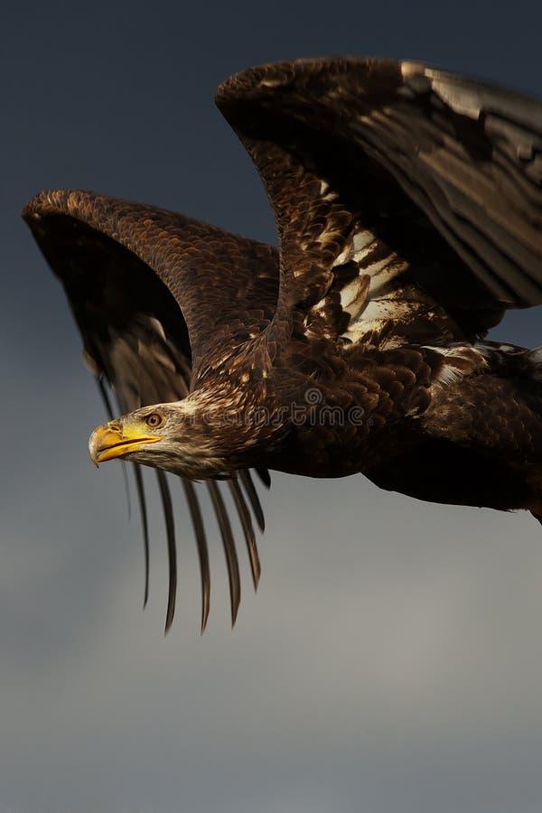 Águia calva juvenil no vôo fotografia de stock royalty free