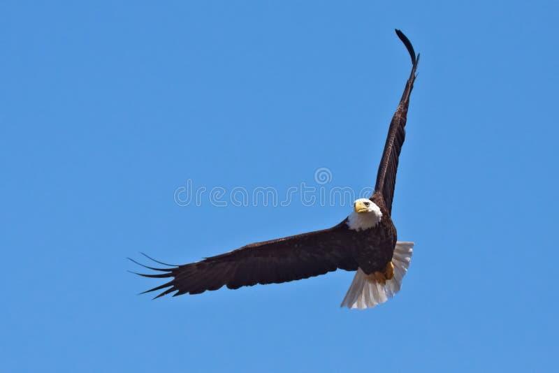 Águia calva no vôo foto de stock