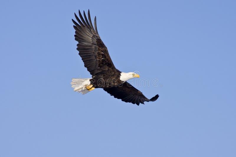 Águia calva no vôo isolado no céu azul fotografia de stock royalty free