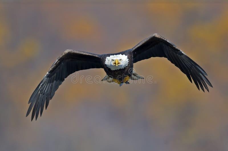 Águia calva no vôo com peixes fotos de stock royalty free