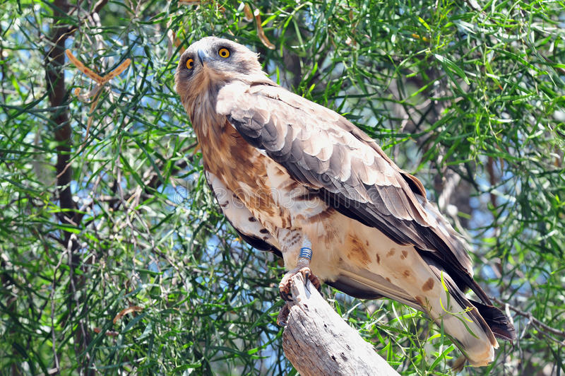águia Curto-toed da serpente imagem de stock