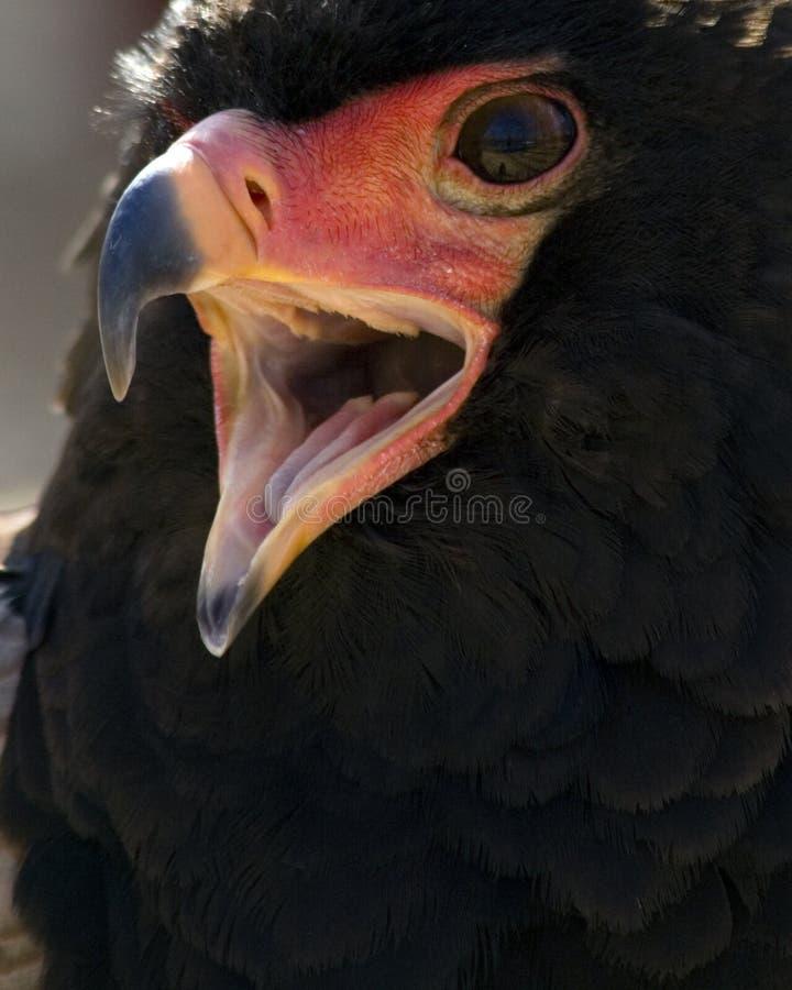 Águia de Bateleur fotografia de stock