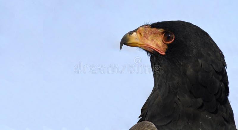 Águia de Bateleur imagens de stock