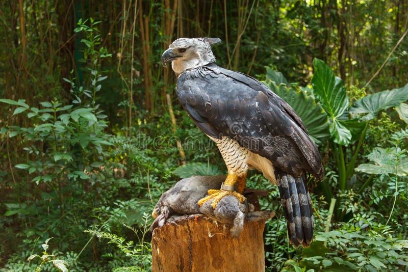 Águia de harpia imagem de stock