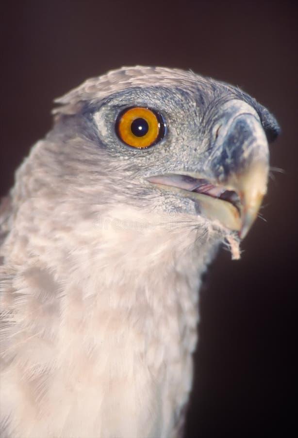 Águia de harpy do Papuan foto de stock