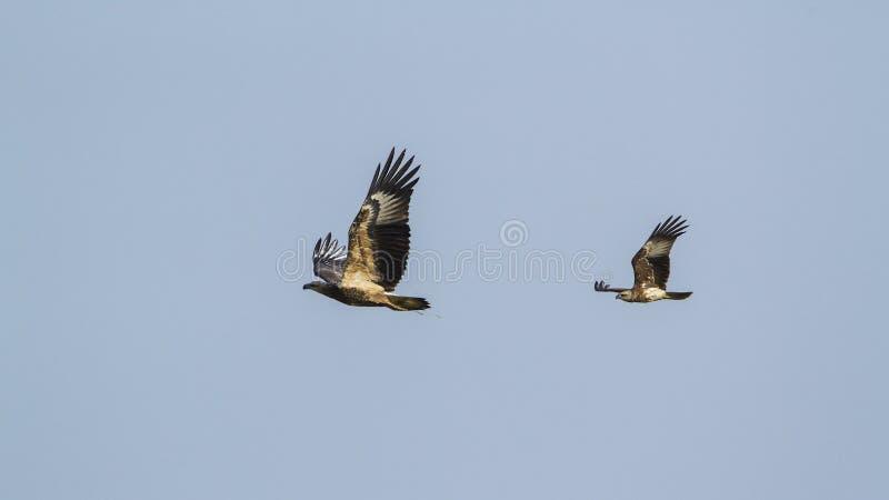 águia de mar Branco-inchada e voo brahminy do papagaio em Sri Lanka imagem de stock