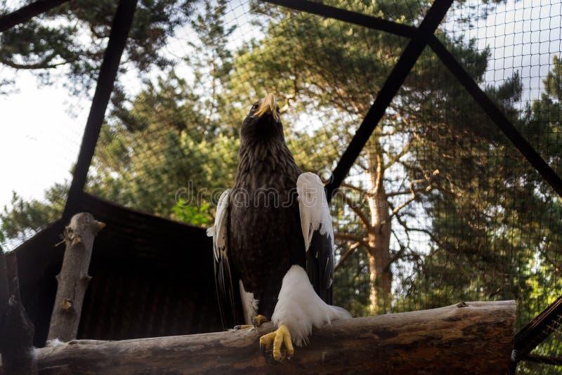 A águia de mar dos stellers senta-se em uma árvore em uma pose restrita imagens de stock
