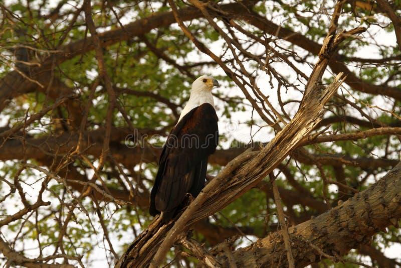 Águia de peixes atada branca fotos de stock royalty free