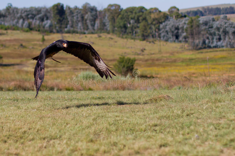 A águia de Verreaux imagens de stock royalty free