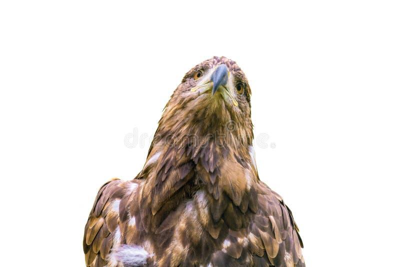 Águia do estepe isolada em um fundo branco fotografia de stock royalty free