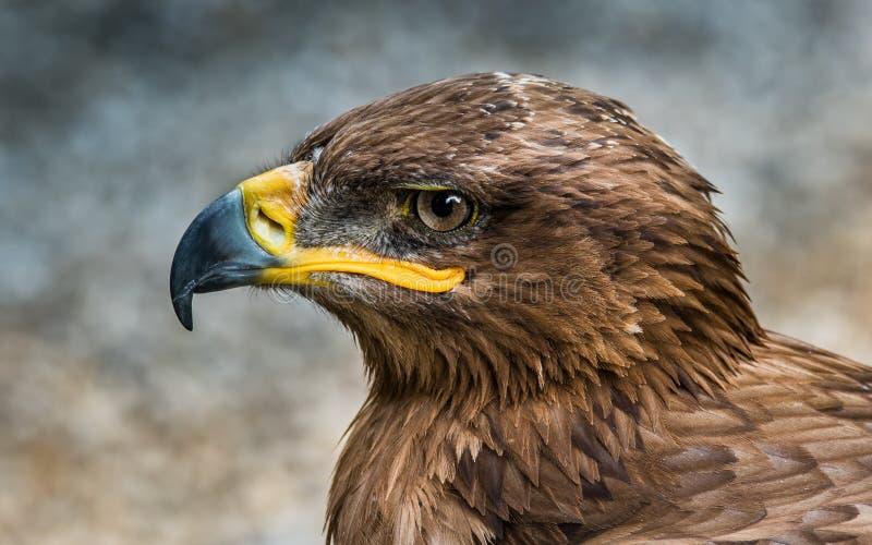 A águia do estepe - o nipalensis de Aquila, é um pássaro de rapina Como todas as águias, pertence ao Accipitridae da família imagem de stock