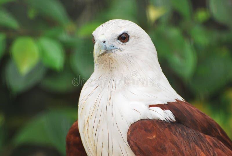 Águia do papagaio de Brahminy foto de stock royalty free