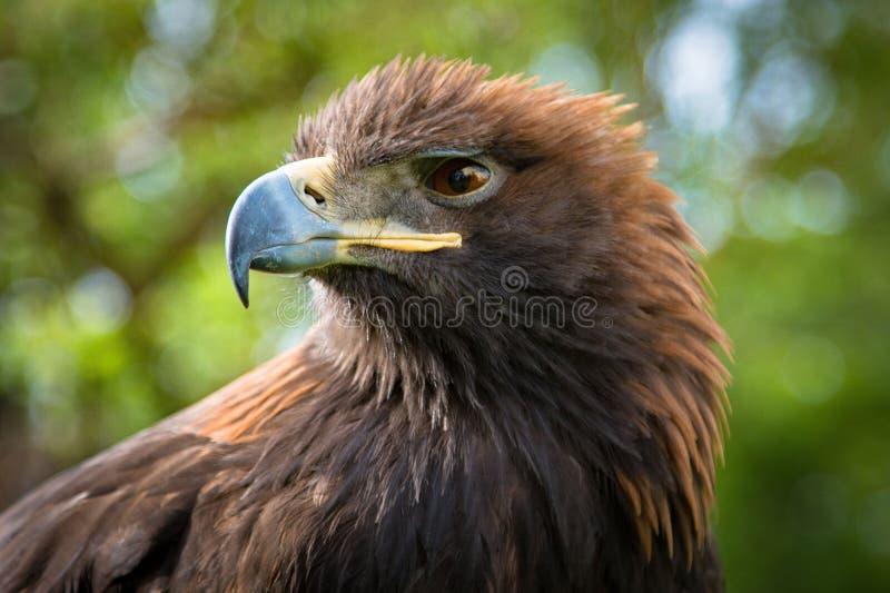 Águia dourada imagens de stock royalty free