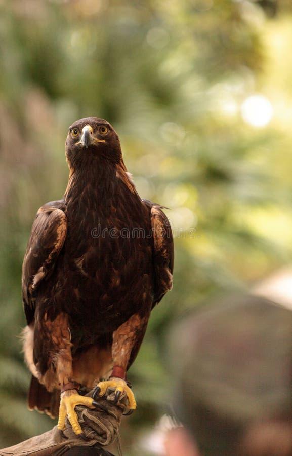 Águia dourada Aquila Chrysaetos imagem de stock
