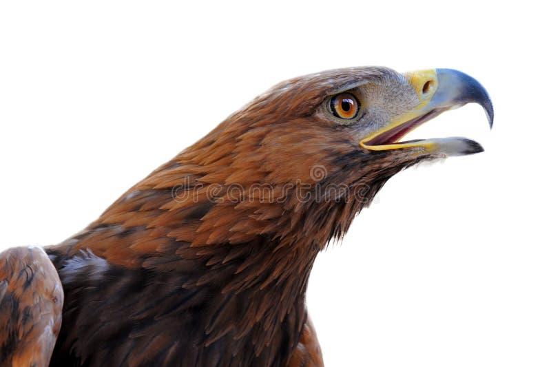 Águia dourada, chrysaetos de Aquila fotos de stock