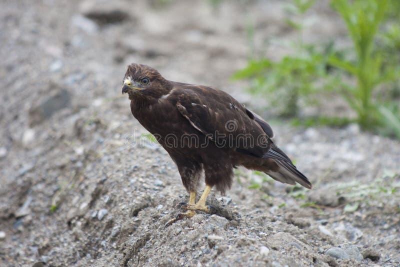 Águia dourada & x28; Chrysaetos& x29 de Aquila; fotos de stock
