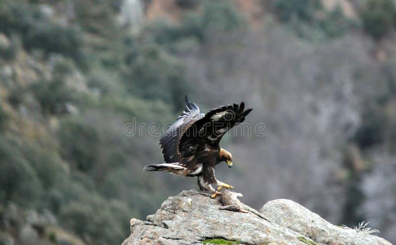 Águia dourada com um coelho fotos de stock royalty free