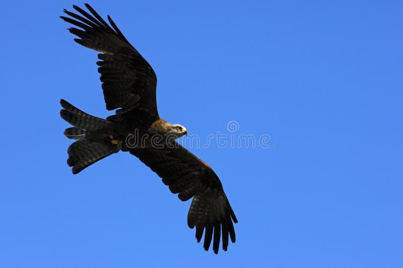 Águia dourada de voo fotografia de stock royalty free