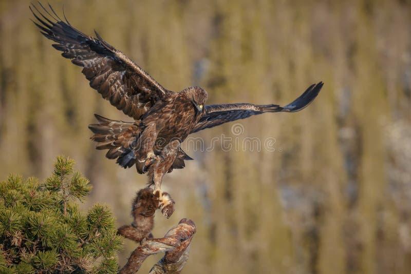 A águia dourada decola fotos de stock