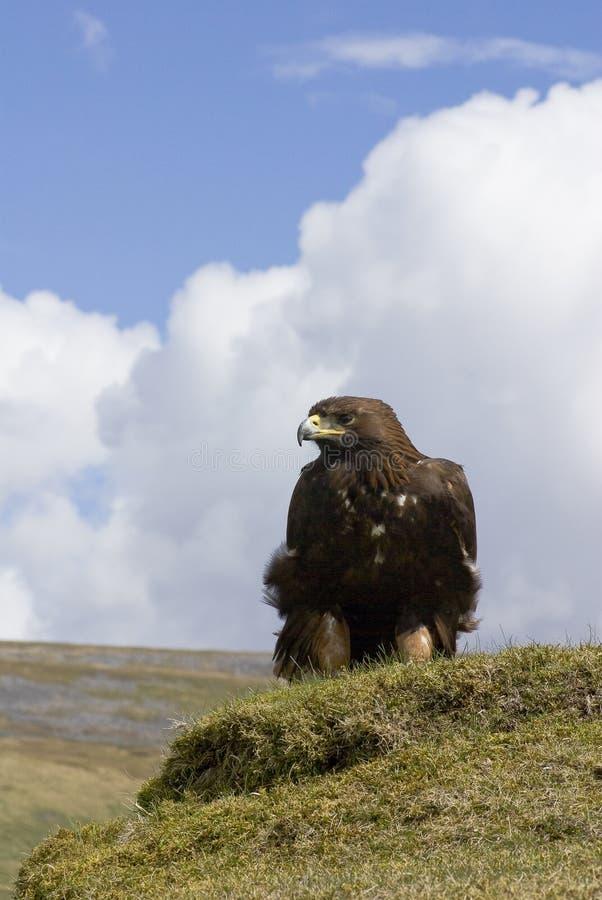 Águia dourada (retrato) fotografia de stock royalty free