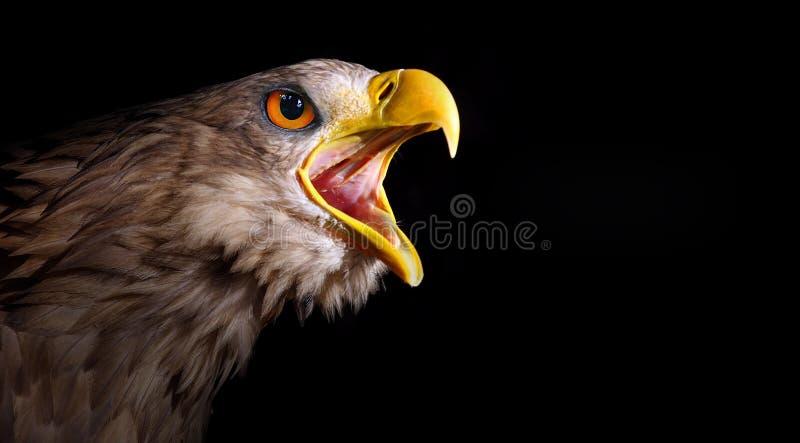 Águia gritando impressionante. fotos de stock royalty free
