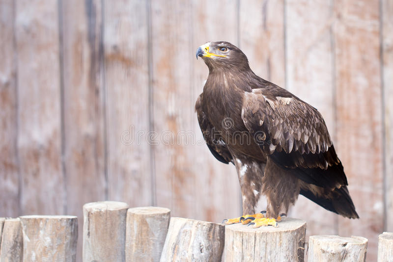 Águia imperial espanhola - águia da caça fotografia de stock