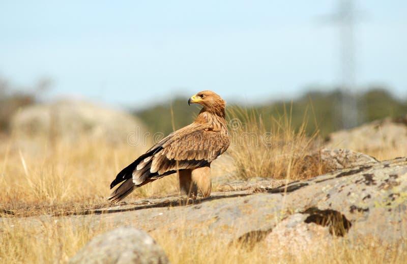 águia imperial nova no campo fotografia de stock royalty free