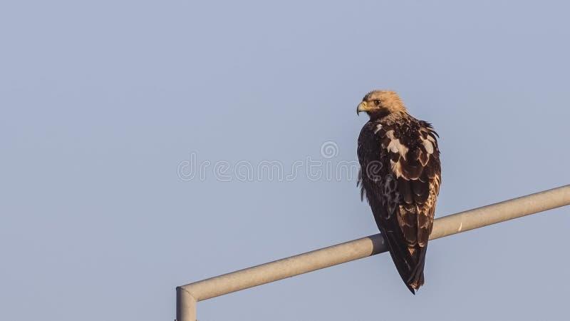 Águia imperial oriental foto de stock