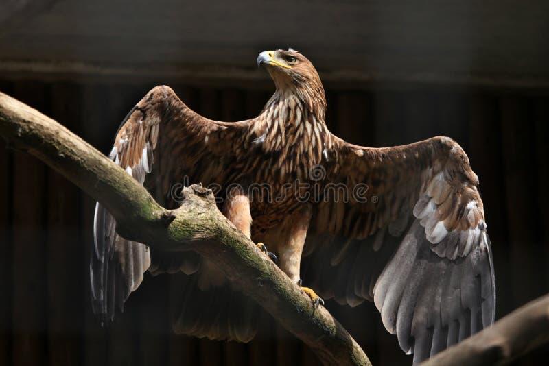 Águia imperial oriental (heliaca de Aquila) fotos de stock