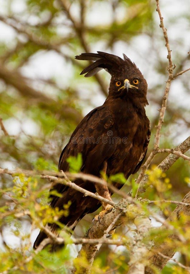 águia Longo-com crista imagem de stock royalty free