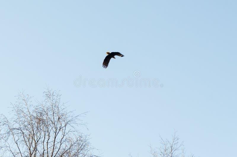 Águia majestosa em voo acima das partes superiores da árvore imagens de stock