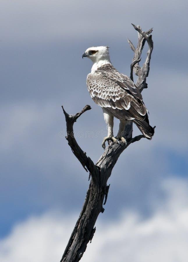 Águia marcial - Botswana fotografia de stock