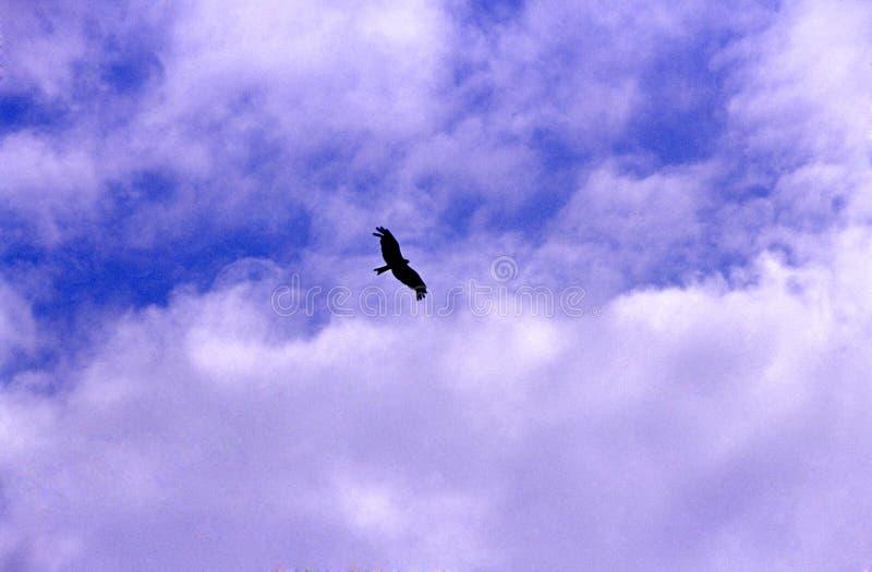 Águia no céu fotografia de stock