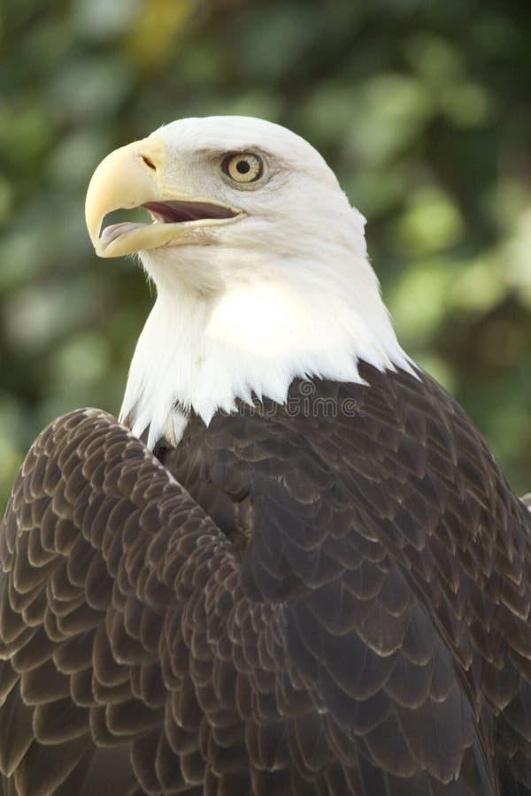 Águia orgulhosa imagem de stock