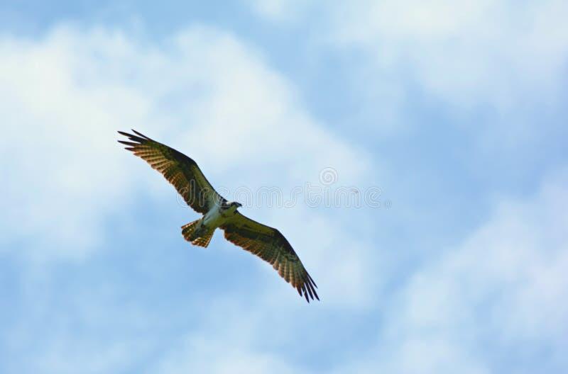 Águia pescadora alta de North-american do voo foto de stock