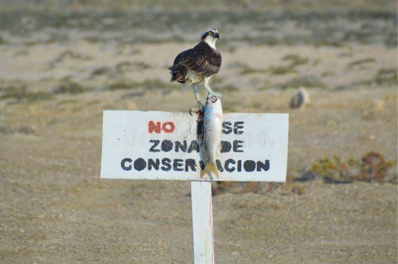 Águia pescadora com captura, negro de Guerrero, Baja California fotografia de stock
