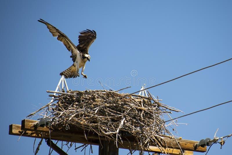 Águia pescadora da mãe dirigida em casa ao ninho imagens de stock royalty free