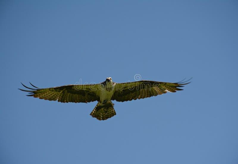 Águia pescadora do norte solitário que voa altamente com um peixe imagem de stock