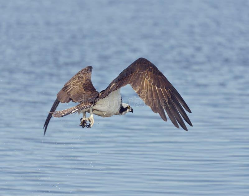 Águia pescadora Eagle Fishing fotos de stock