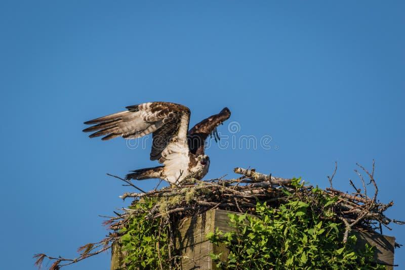 Águia pescadora em uma manhã clara do verão com céus azuis que decola da caixa-ninha imagens de stock royalty free