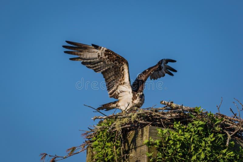 Águia pescadora em uma manhã clara do verão com céus azuis que decola da caixa-ninha foto de stock
