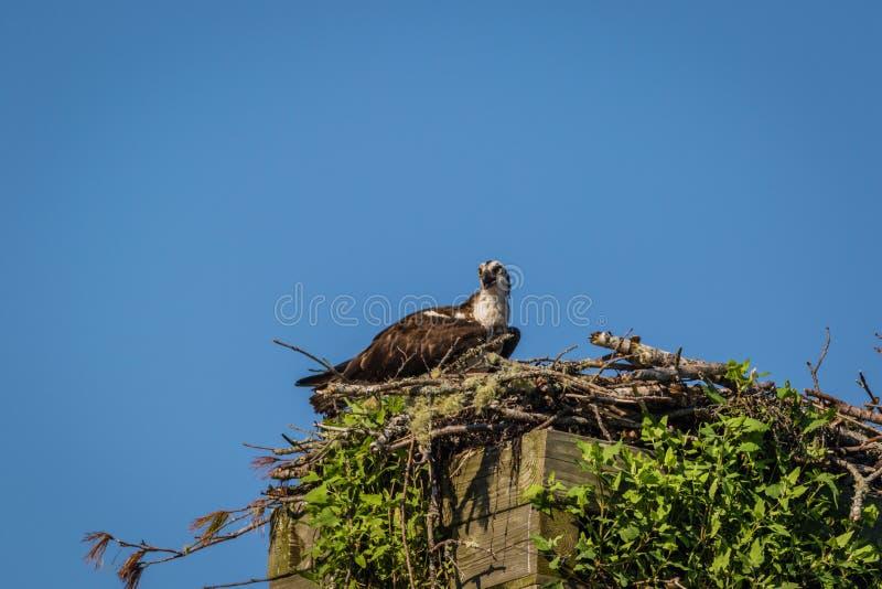 Águia pescadora em uma manhã clara do verão com céus azuis que decola da caixa-ninha imagem de stock