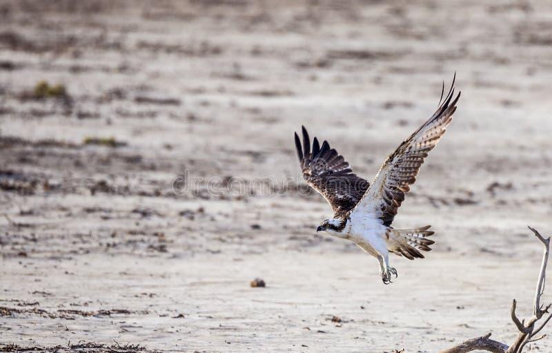 Águia pescadora em voo fotografia de stock