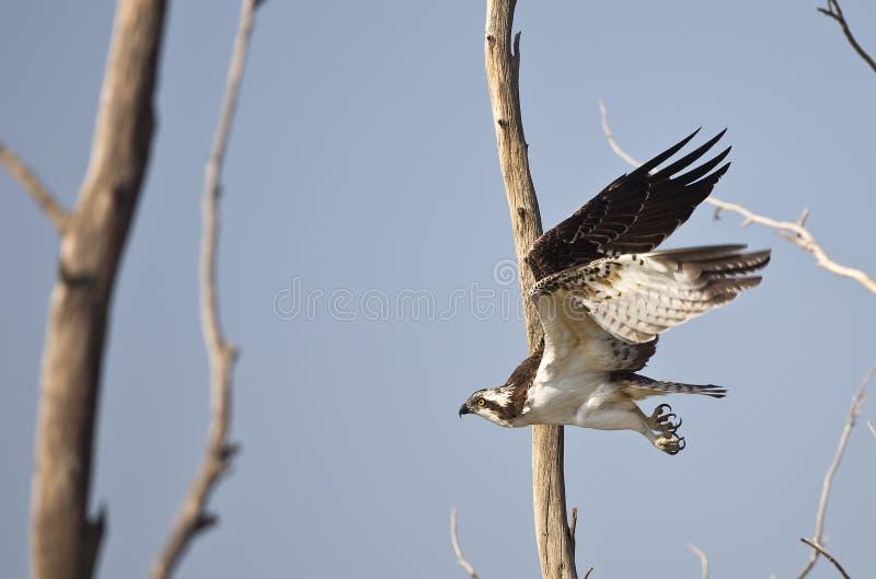 Águia pescadora em voo (haliaetus do Pandion) foto de stock